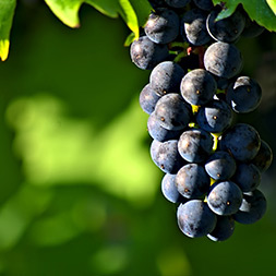 grappolo di uve sqngiovese per super tuscan