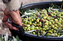 olive per olio laudemio