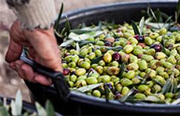 laudemio-olive-harvesting